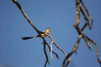 Shaft Tailed Whydah Kruger Park